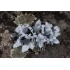 hojas de hiedra y campanillas